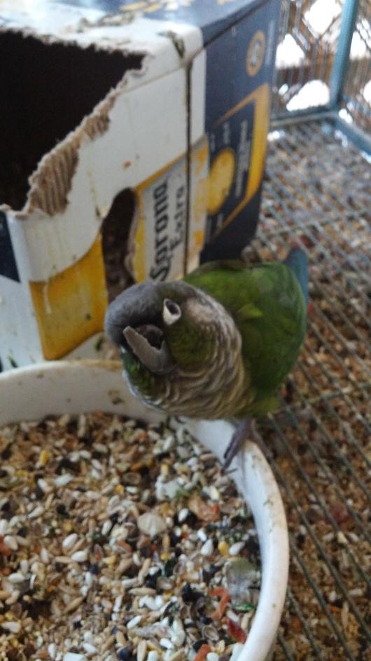 nacho long beak
