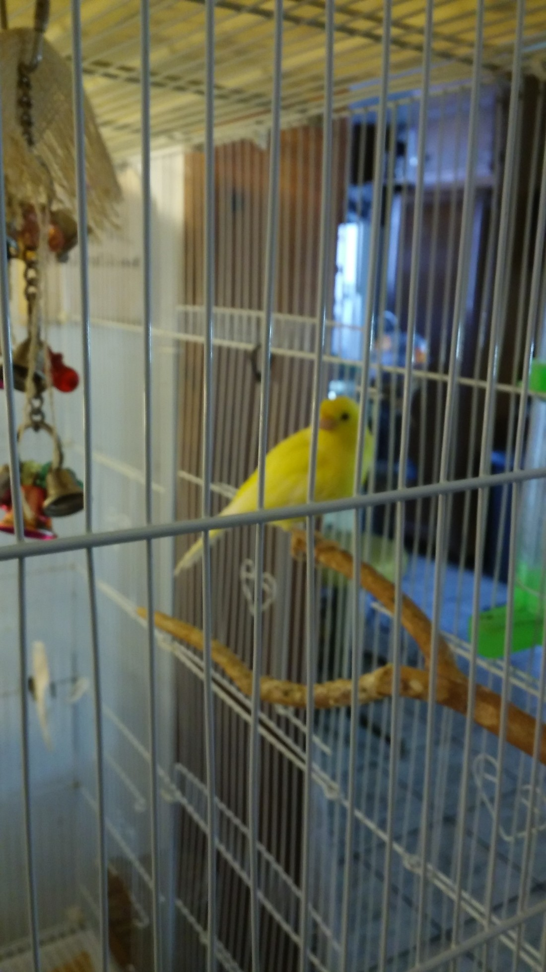 rico canary