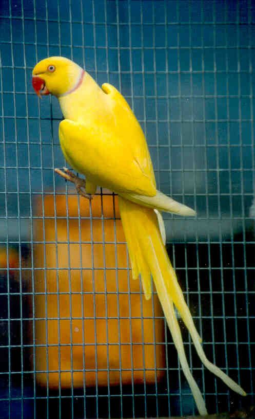 011418 indian ringneck lutino