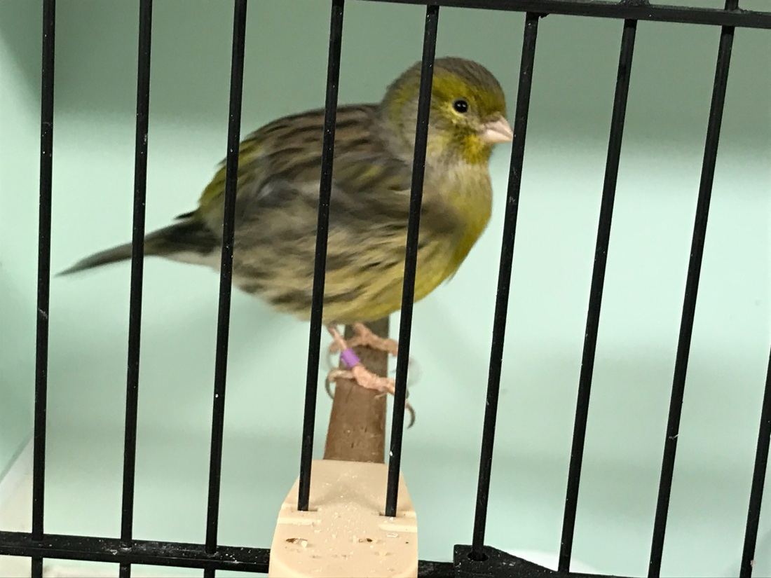 020418 fife canary type