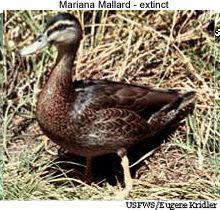 032518 extinct ducks