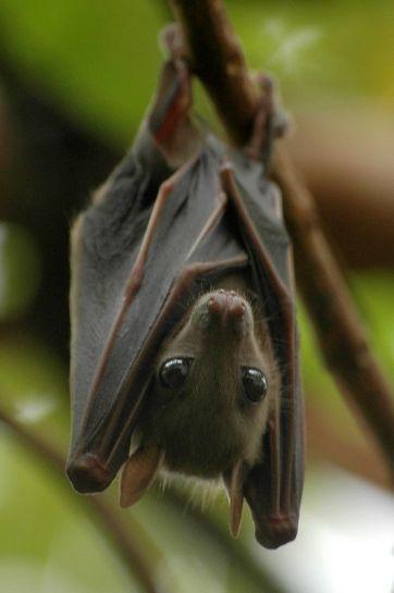032518 fruit bat