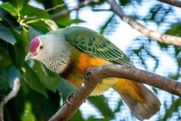 032518 mariana fruit dove