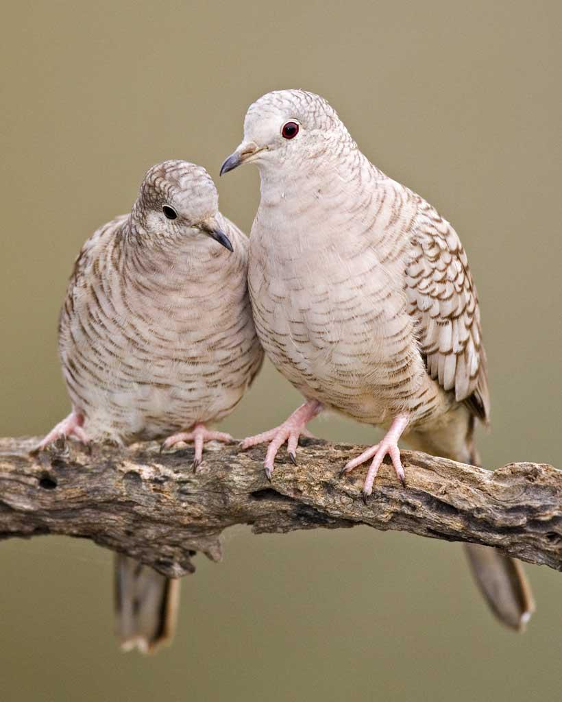 070818 inca doves
