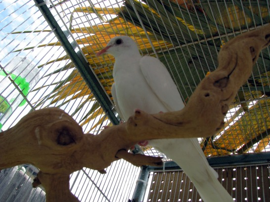 Sky, female ringneck dove