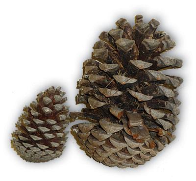 120618 pine-cones