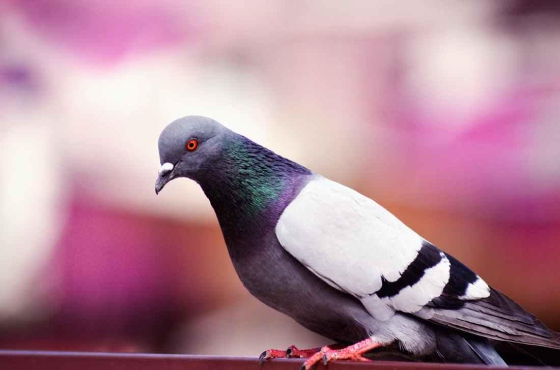 122318 pigeon