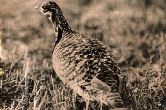 022419 heath hen