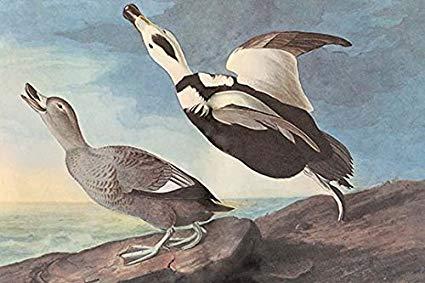 022419 labrador duck