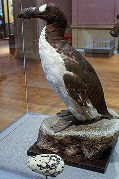 022419 specimen great auk
