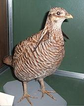 022419 specimen heath hen