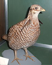022419 specimen heath hen