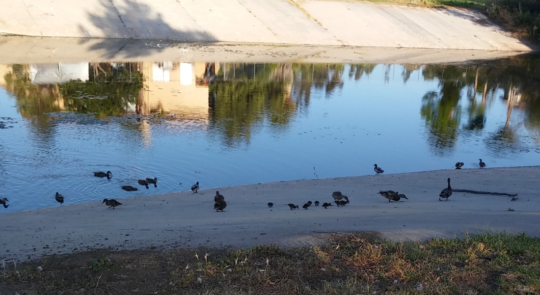 june 2018 ducks by golf course 1