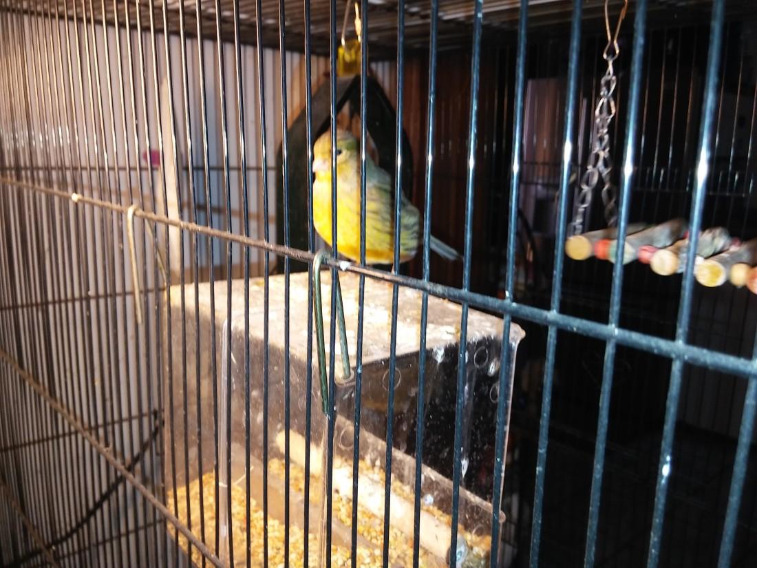 canary thelma lou