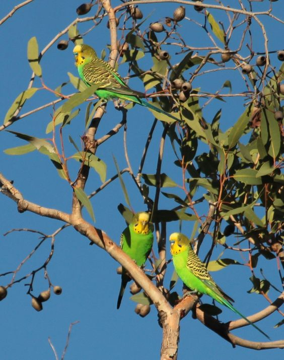 060219 budgies in eucs