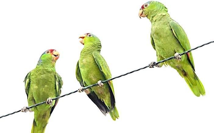 072119 wild-parrots-1